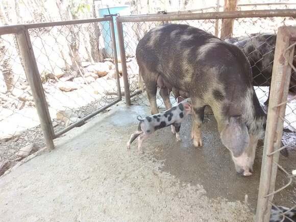 Cerda Criolla inseminada con Linea - Cerdos Criollos Salvadoreños