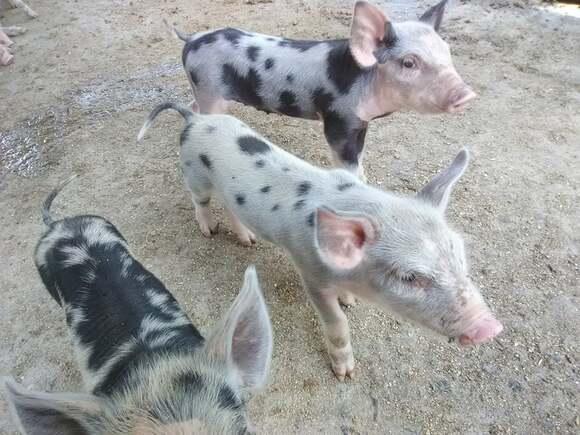 F1: Traxx x Criollo - Cerdos Criollos Salvadoreños