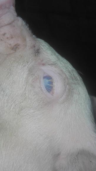 Enfermedad cerdos - Enfermedad en cerdos