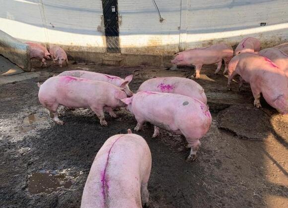 Venta de Cerdo en Pie - Mi actividad