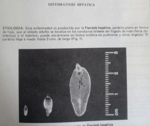 Faciola  hepatica - Varias