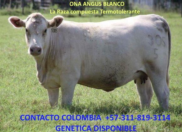 305 vaca  Angus Blanco 2 años parida - ANGUS BLANCO - WAGYU