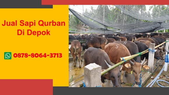 WA 0878-8064-3713  Sapi Untuk Kurban Di Kawasan Limo Depok