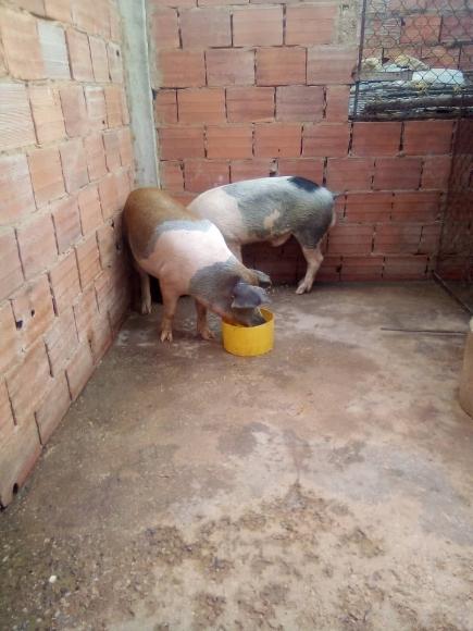 Cerdos - Varias