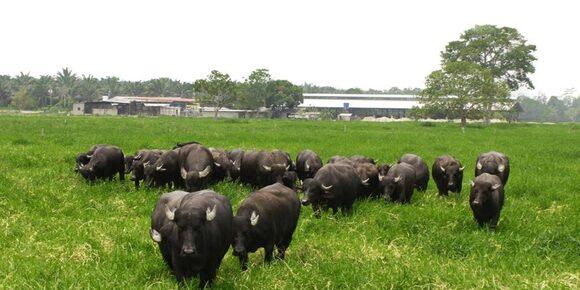 Búfalos - Casos clínicos