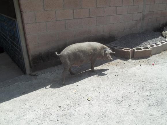 Cerdo Criollo en Semi Libertad en Bolivar, La Unión - Cerdos Criollos Salvadoreños