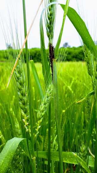 Carbón volador del trigo. Ustilago tritici. Fotos Astiz Gasso - Ensayos de Laboratorio y de campo