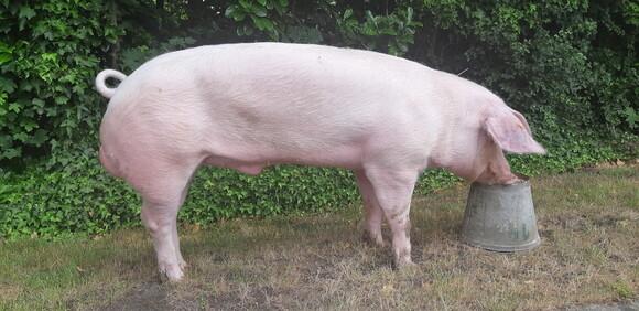 Belgian Landrace boar - Personal