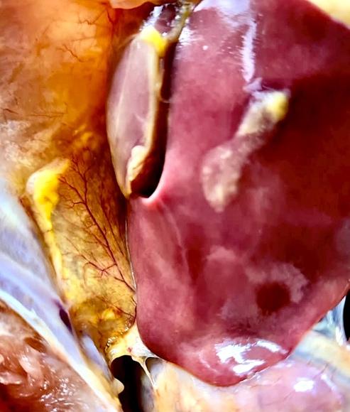 Aerosaculitis grado ++++ Pollo de engorde - Inmunologia