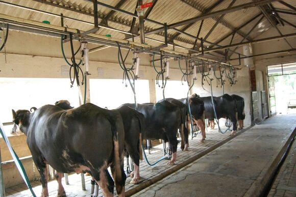 Machine milking of buffaloes at ICAR-CIRB, sub campus, Nabha - My activity