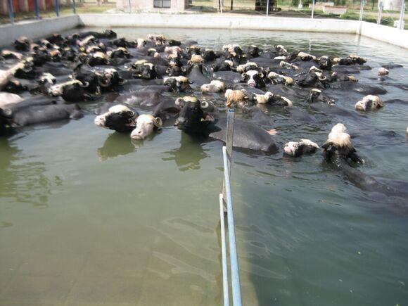 Buffaloes enjoing wallowing at ICAR-CIRB, sub campus, Nabha - My activity