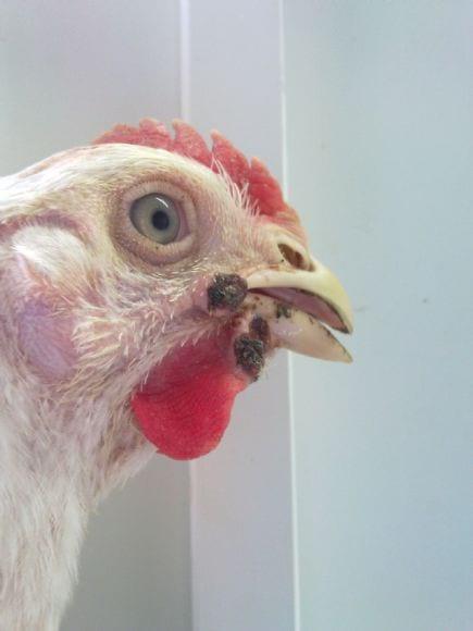 Fadi Abu Shama - Poultry Diseases