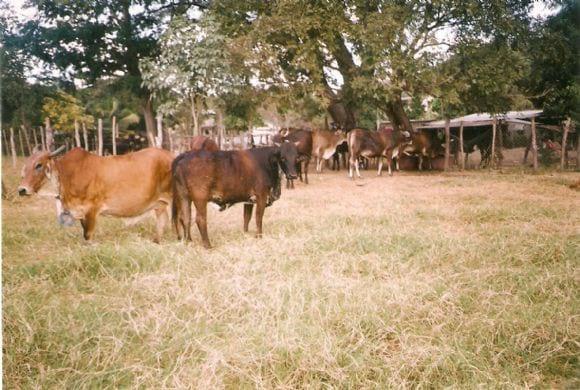 mis pobres vacas locas | Foto 10262