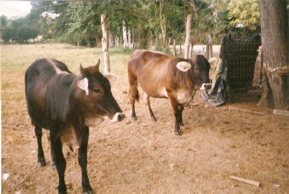 mis pobres vacas locas | Foto 10263