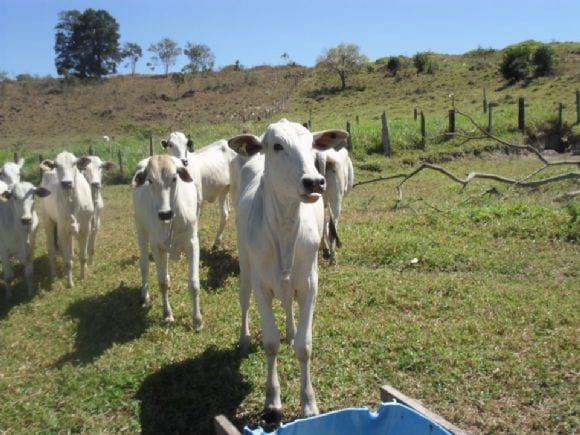 Suplementação de bovinos Nelore a pasto | Foto 22041