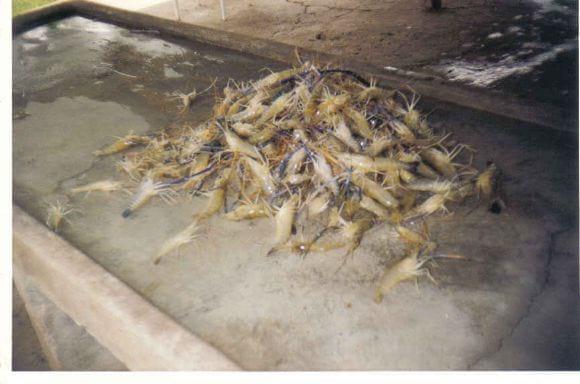 Harvested Shrimps in Tarapoto, Peru - M. rosenbergii