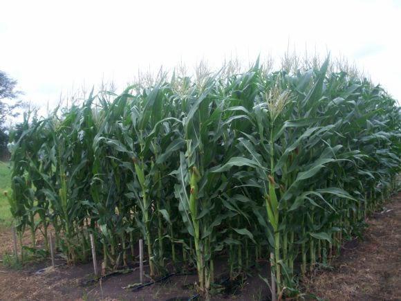 Modelos de crecimiento de cultivos - Facultad de Agronomía de Azul