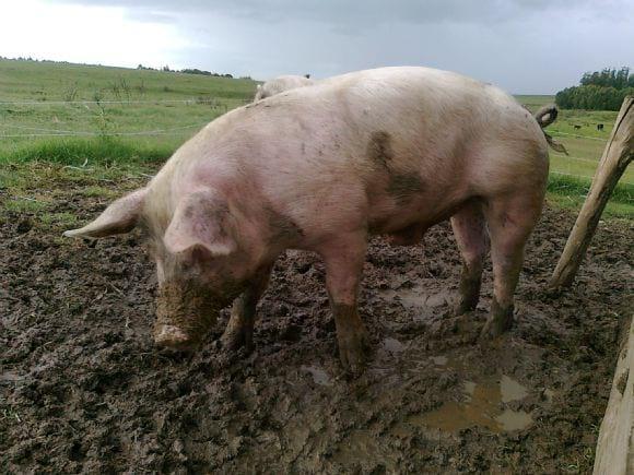 Cerdo que retiene orina, sirve cómo reproductor? - Varias