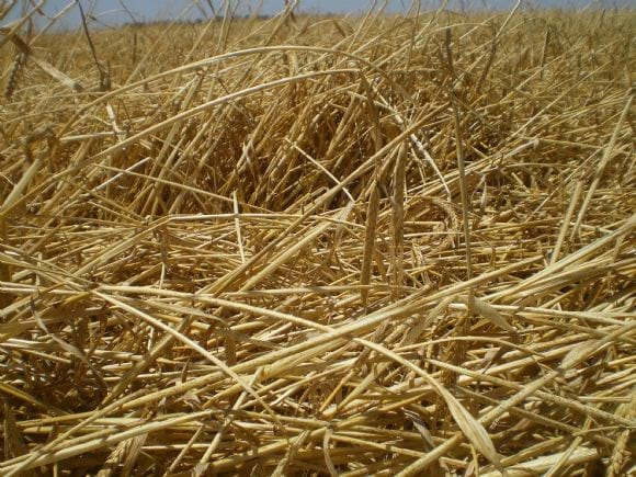 Cebada dañada por el viento - siniestros cosecha fina