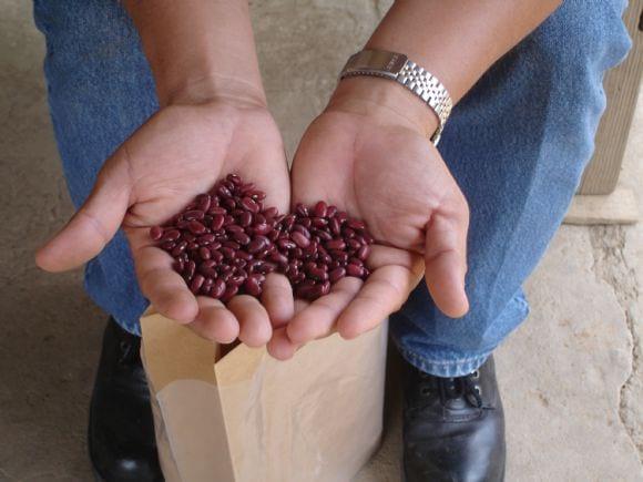 Colecta de frijoles criollos de color rojos nativos de Nicaragua - Colectas en Nicaragua