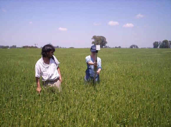 Cultivo de trigo - Trigo