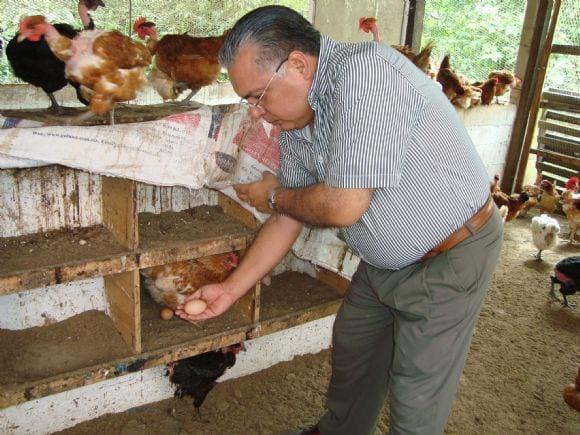 Recolecta de huevos en galpón rústico de gallinas ponedoras - rancho
