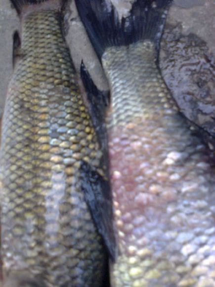 Bacterial Diseases in Fish - Diseases In  Fishes