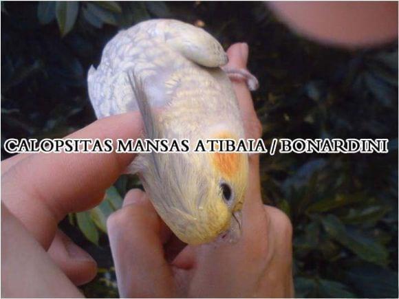 calopsitas mansas Atibaia Bonan Nardini - Calopsitas mansas Atibaia / Bonan Nardini