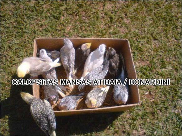 calopsitas mansas Atibaia /Bonan Nardini - Calopsitas mansas Atibaia / Bonan Nardini