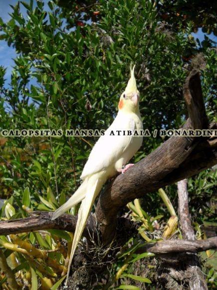 calopsitas mansas Atibaia / Bonardini - Calopsitas mansas Atibaia