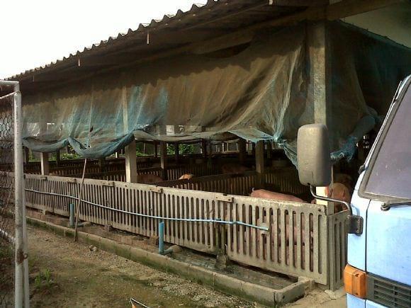Finishing pig - Swine in Singburi