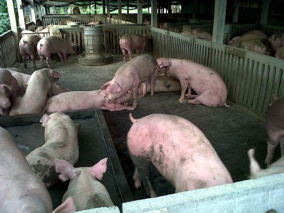Swine in Singburi - Swine in Singburi