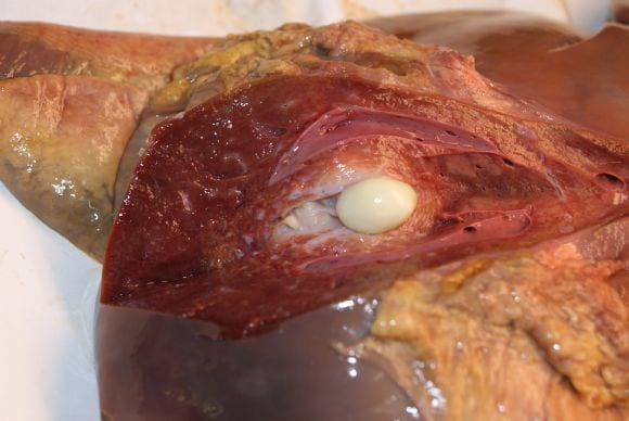 Tumor hepático en bovinos - Reproduccion animal
