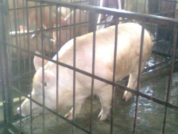 How to cut down feeding cost of pigs in india. - Miscellaneous