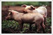cerditos - cerdos