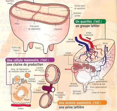 mastitis subclínica - Engormix