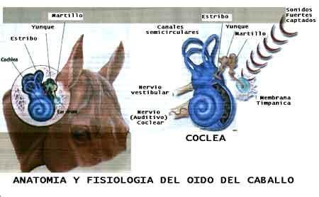 Resultado de imagen para Placa interna del oído en caballos