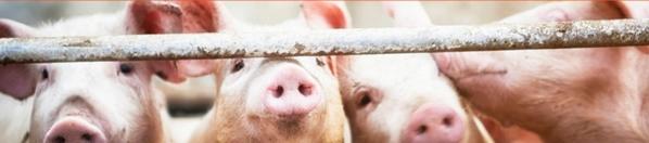 EE.UU. - La soja y la salud de los cerdos: Papel clave de los bioactivos - Image 1