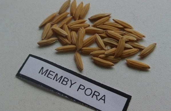 Argentina - Presentan un nuevo grano de arroz largo fino - Image 2