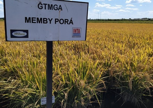 Argentina - Presentan un nuevo grano de arroz largo fino - Image 3