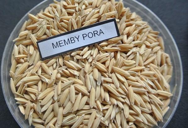 Argentina - Presentan un nuevo grano de arroz largo fino - Image 1