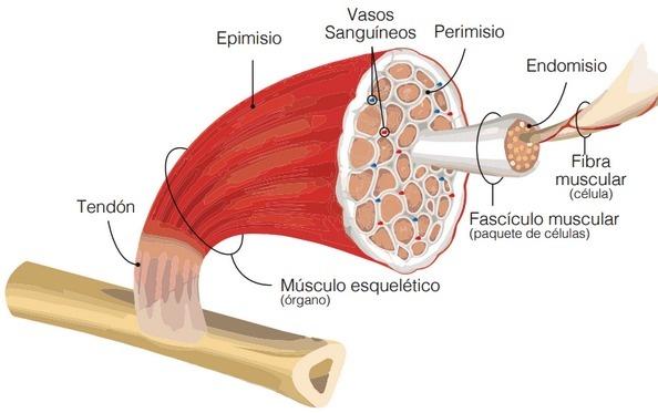 Miopatías del músculo de la pechuga, Documento de Aviagen - Image 1