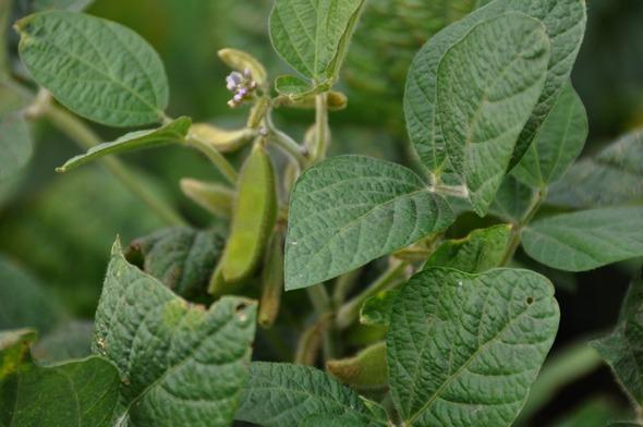 Argentina - Soja: Inscriben cinco variedades de soja con características biológicas especiales - Image 4