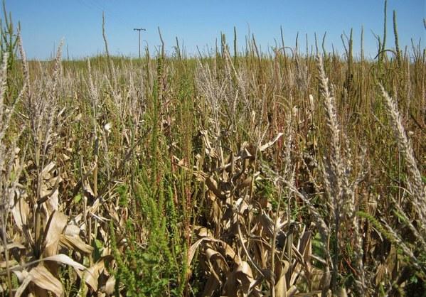 EE.UU. - Confirman resistencia de Amaranthus palmeri a glufosinato de amonio - Image 1