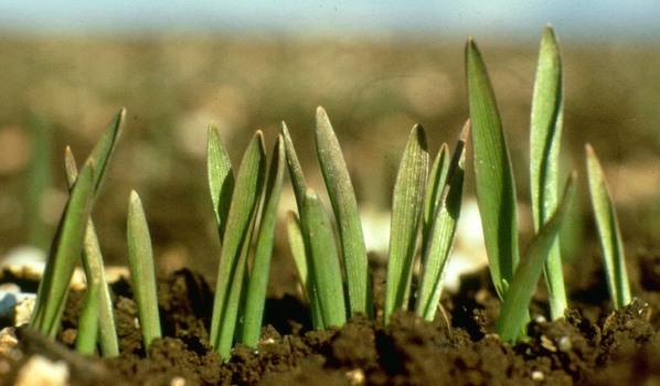 Argentina - Un tratamiento con Zinc y fosfitos para semillas de trigo - Image 1
