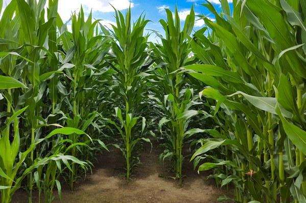 Maíz tardío: biocontroladores para disminuir la contaminación por aflatoxinas - Image 1
